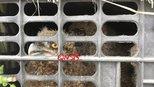 浙江嘉兴截获一辆大巴 行李箱里藏229只猫头鹰