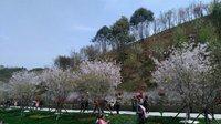 长沙浔龙河上万樱花绽放