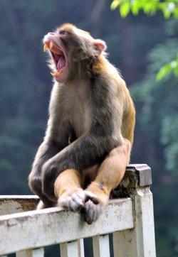 常看动物世界节目的人都看到过猴群争夺王位的惨烈画