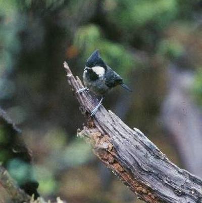 黑冠山雀生存清道夫英文名图片