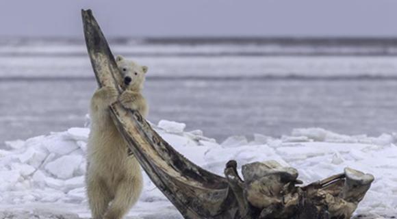 """北极熊妈妈带幼崽觅食 熊宝宝抱""""大骨棒""""摆拍"""