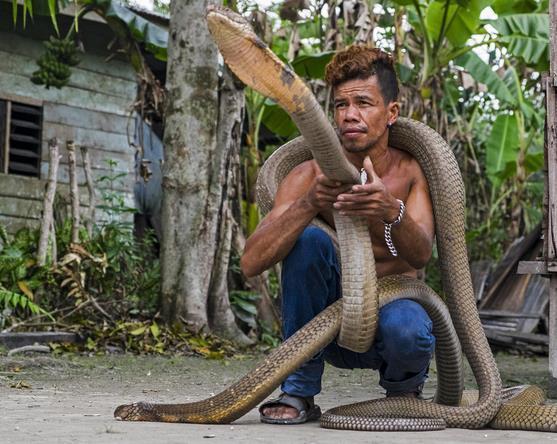 印尼男子徒手捕获偷袭村民的眼镜王蛇当做宠物