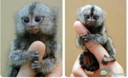 小猴子的动物是啥