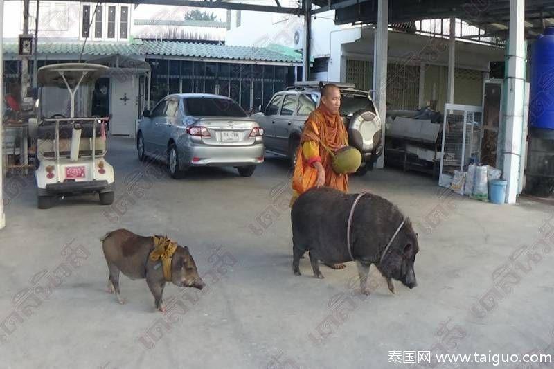 """【转】北京时间      泰国僧人带两个""""野猪弟子""""化缘 - 妙康居士 - 妙康居士~晴樵雪读的博客"""