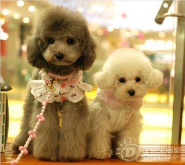 家养小型宠物犬,有哪些?