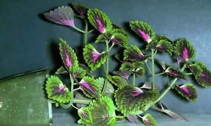 绘出植物细胞骨架微丝结构图