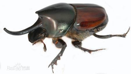 大多数蜣螂喜食粪便,多以动物粪便为食,有自然界清道夫的称号。蜣螂发现了一堆粪便后,便会用屎壳郎腿将部分粪便制成一个球状,将其滚开。它会先把粪球藏起来,然后再吃掉。蜣螂还以这种方式给它们的幼仔提供食物。一对正在繁殖的蜣螂会把一个粪球藏起来,但是这时雌蜣螂会用土将粪球做成梨状,并将自己的卵产在梨状球的颈部。幼虫孵出后,它们就以粪球为食。等到粪球被吃光,它们已经长大为成年蜣螂,破土而出了。 中药名蜣螂虫。明代李时珍著《本草纲目》中记载屎壳郎还有推丸、推车客、黑牛儿、铁甲将军、夜游将军等好听的名字。李时珍解释说