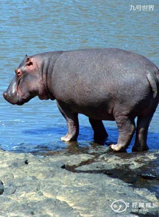 在看到人类世界的PK赛如雨后春笋般一拨接一拨开始时,动物们也坐不住了,它们也想搞一次自己的全民娱乐活动。于是,全球的动物聚集在了一起,上演了一场轰轰烈烈的PK大赛。谁是最懒的动物呢?  第十名【逍遥的懒汉河马】它是世界上嘴巴最大的陆生哺乳动物,主要分布在非洲坦桑尼亚、赤道南北的湖沼中和中非、东非。它们喜欢栖息在河流附近沼泽地和有芦苇的地方。找到它们不难,但要他们浮上来让你拍照却不易。  第九名【冰冻的懒汉灰树蛙】灰树蛙是一种在树木栖息的小型蛙类,大多是来自美国。有时灰树蛙亦被称为北美俗树蛙,主要是在树