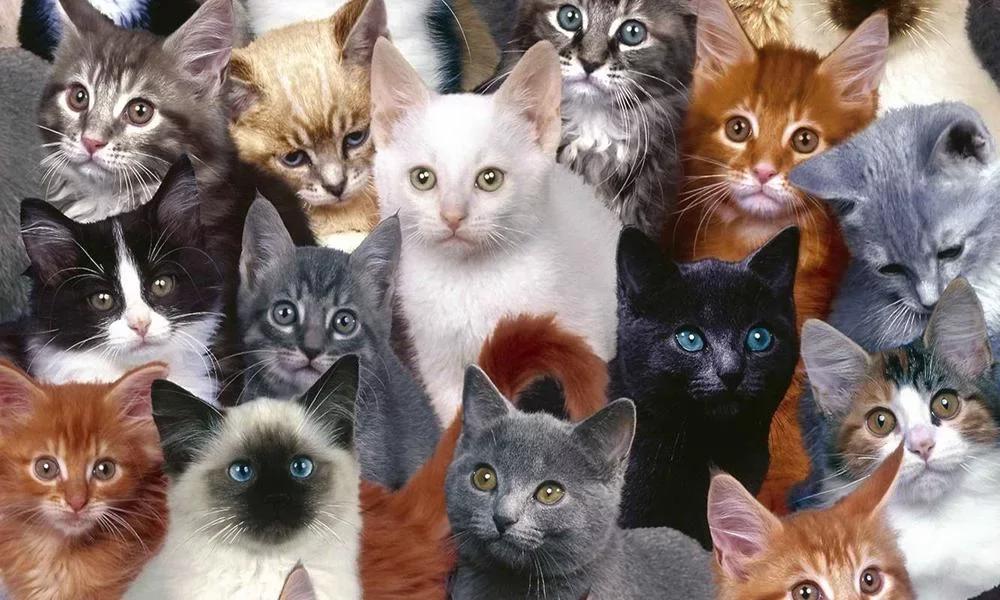 可爱的宠物猫拼图