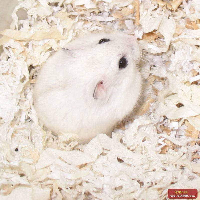 沙漠侏儒仓鼠  界: 动物界 animalia 门: 脊索动物门 chordata 纲