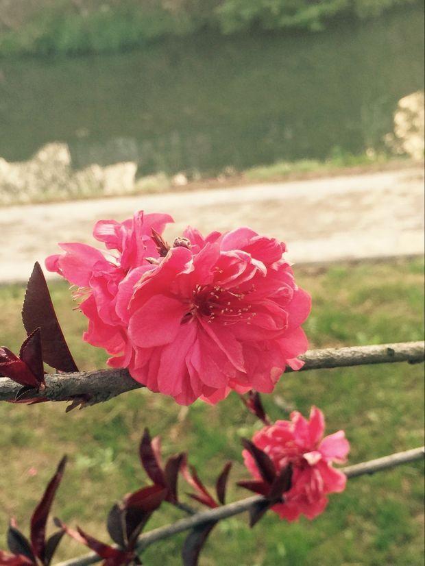像梅花有很多层花瓣但是是红色叶子,有图