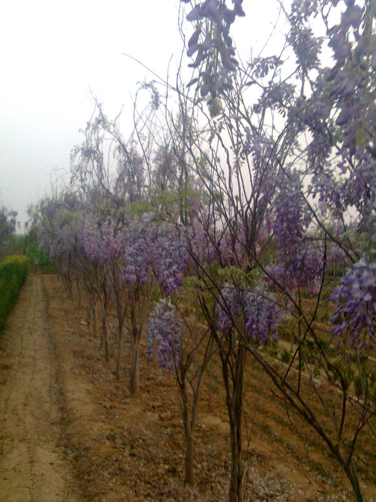 地经2公分3公分紫藤树苗特价