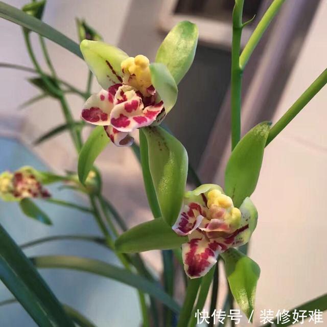 """一款最""""奇特""""的兰花,花型新颖,香味浓郁,被誉为三大奇花之首"""