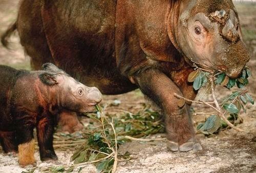 在美国俄亥俄州辛辛那提动物园一只苏门答腊犀牛母亲和幼仔正在漫步