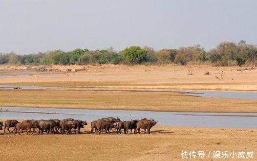 牛数众多的牛群,被狮群吓得四处逃散,落单的牛被狮群生吞活剥