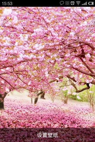 设置页面-动态壁纸-选择春天樱花动态壁纸-设置完成