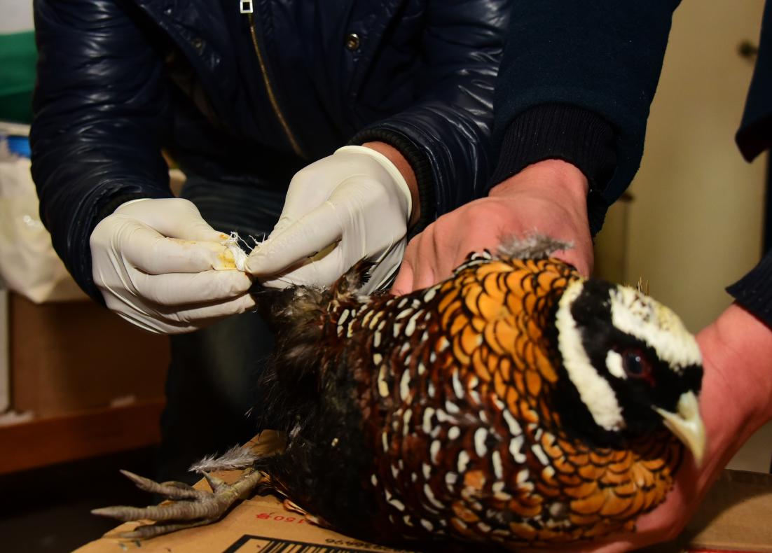【转】北京时间    市民买到大鸟 竟是濒危物种白冠长尾雉 - 妙康居士 - 妙康居士~晴樵雪读的博客