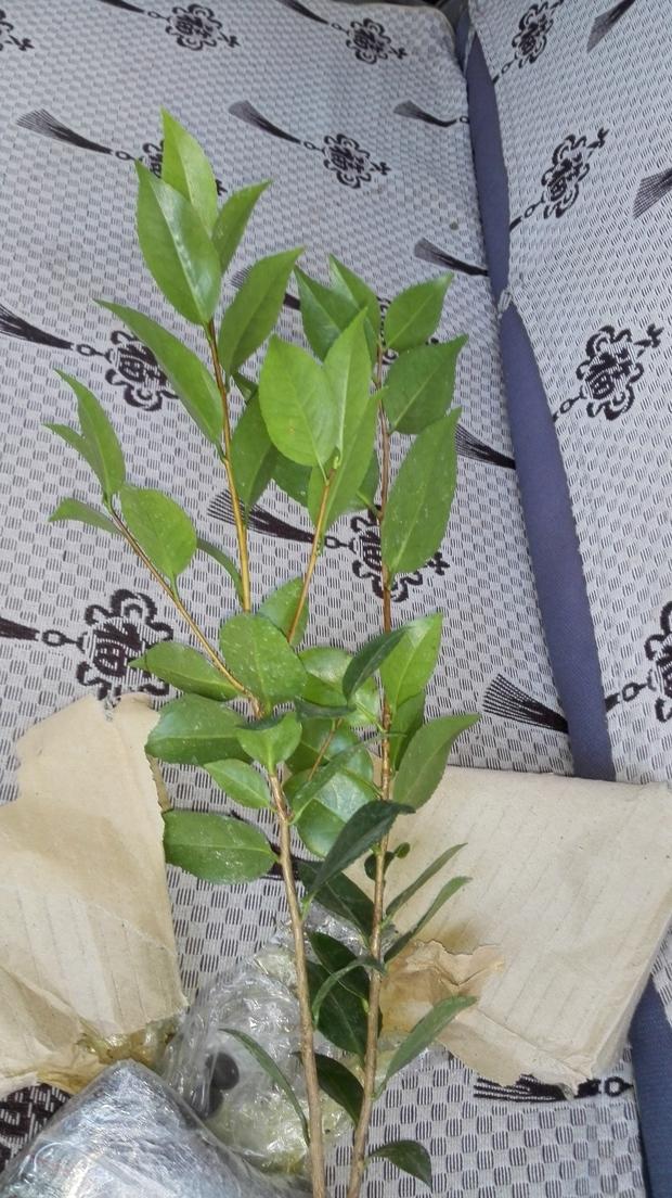 平安树小苗叶子长的像山茶花
