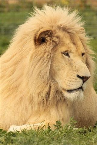 壁纸 动物 狮子 桌面 320_480 竖版 竖屏 手机