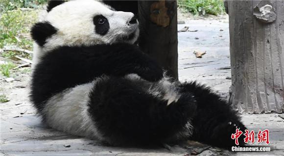 大熊猫宝宝春日卖萌