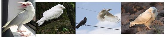 都说天下乌鸦一般黑,有见过白乌鸦的没?