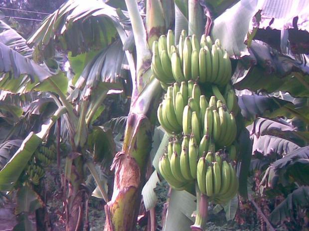 香蕉是长在树上还是长在藤的呢?