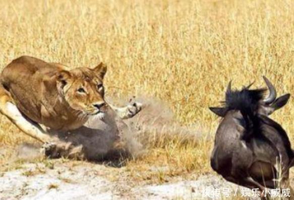 羚羊面对母狮的猎杀竟慌乱的不会转弯,直接往母狮怀里冲