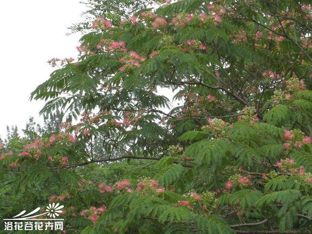 合欢树的具体形态,包括根茎叶花果实种子的介绍,有没有详细的~谢谢啦