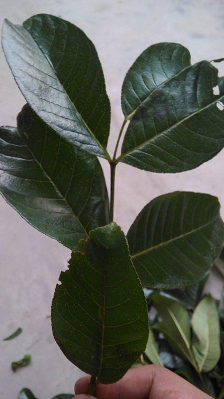 树身上有类似木棉树的硬刺!冬天会落叶!可以做药!