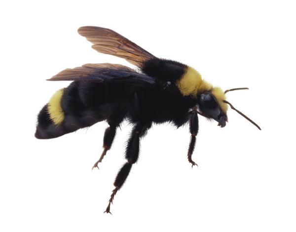 蜜蜂结构图片大全