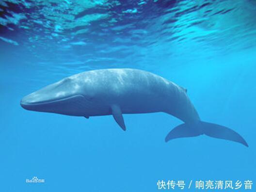 蓝鲸到底有多大,舌头上可以站50个人