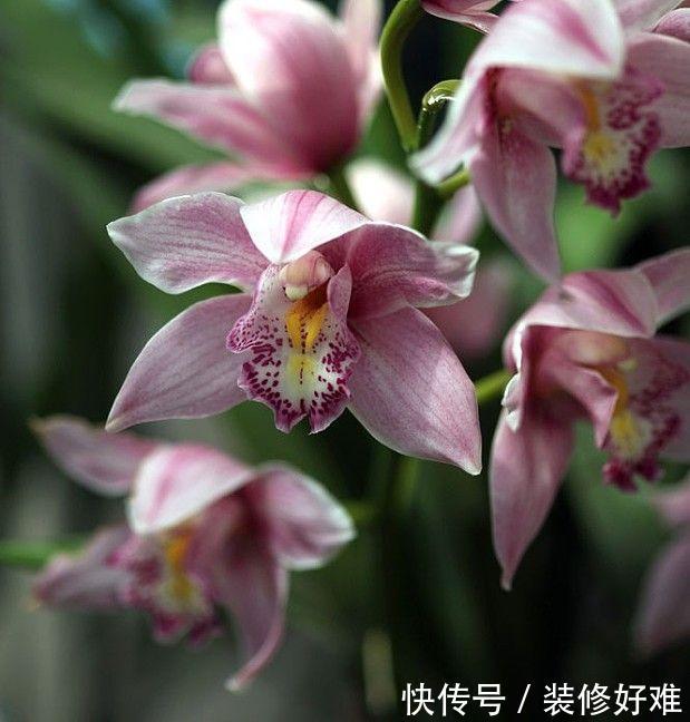 大花蕙兰要怎么养护,花朵才能硕大又艳丽呢?