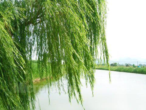 垂柳 柳树 树 480_360图片