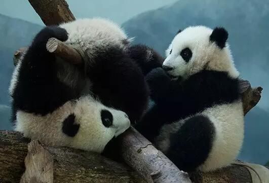 三只旅美大熊猫将返华 美网友不舍欲拿