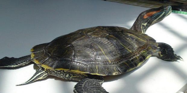 怎么区分乌龟的种类