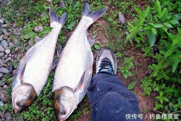 水库鲢鳙怎么钓?我用自制的饵料配方,经常钓获5千克左右的鲢鱼
