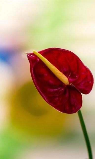 红色植物-宝软桌面壁纸33_360手机助手
