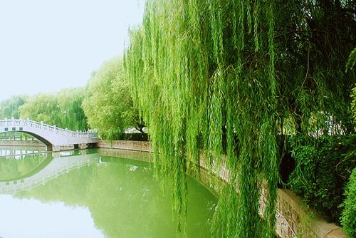搜一组柳树风景图片