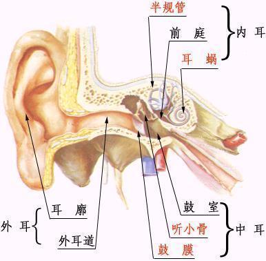 耳朵图解部位名称图片