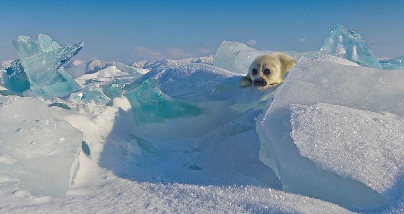 【转】北京时间     小海豹冰上卖萌 对摄影师热情挥手 - 妙康居士 - 妙康居士~晴樵雪读的博客