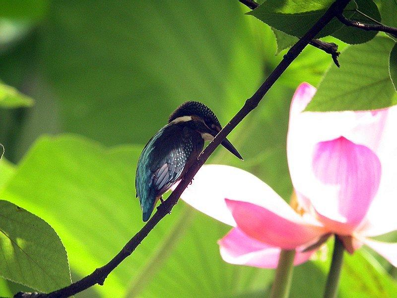 蓝耳翠鸟是两足,恒温,卵生的脊椎动物,身披羽毛.蓝耳翠鸟的羽毛分为