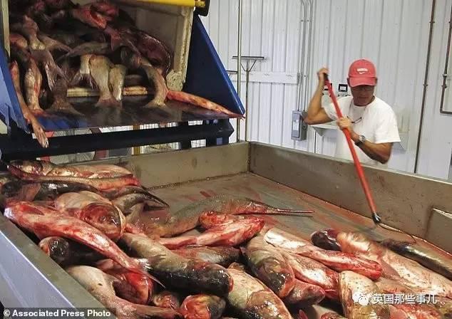 美国人当年进了批亚洲鲤鱼:没想到有今天 - 一统江山 - 一统江山的博客