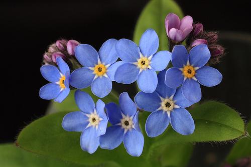 勿忘我有两种花吗图片
