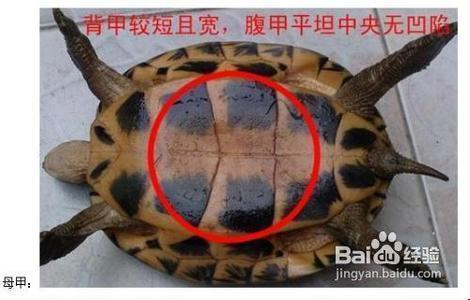 怎么分辨小乌龟公母图片图片
