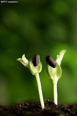 观察日记黑豆刚种上怎么写