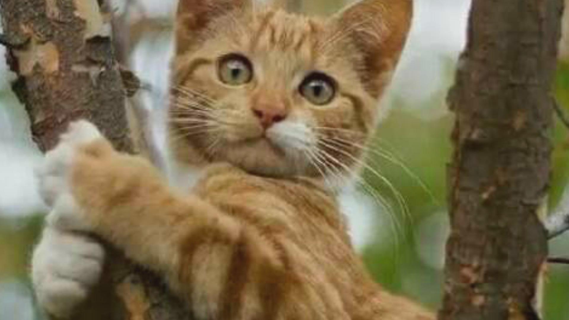 小猫爬上树20天因饥饿咬树叶舔露珠 消防3次解救