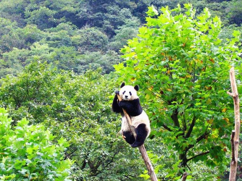 夹金山脉大熊猫栖息地还是大熊猫