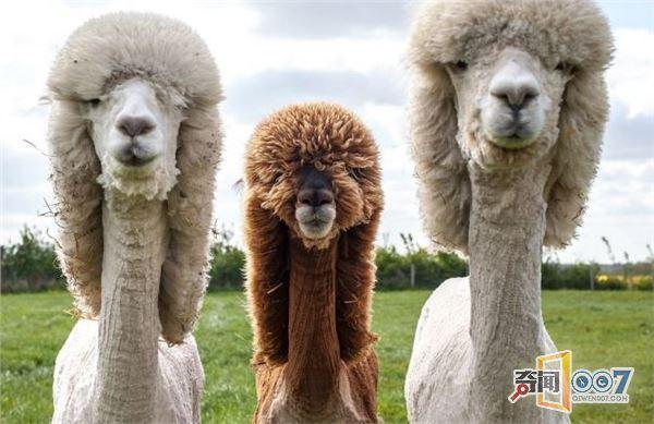 换个发型换个心情!这些羊驼发型被玩坏了... -  - 真光 的博客