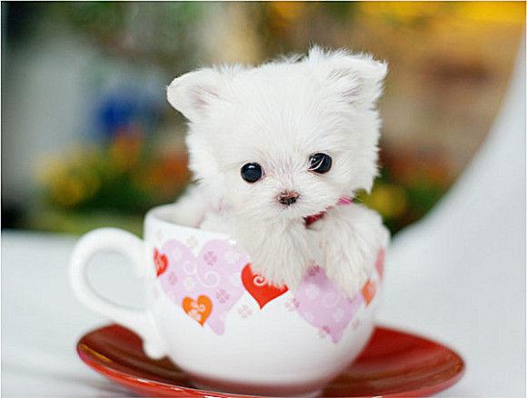 茶杯种类的动物