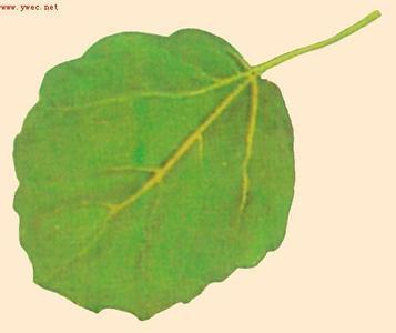 为双子叶植物药杨柳科植物山杨的叶
